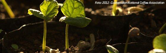 Kaffeepflanzen-Setzlinge
