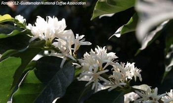 Blühender Kaffeestrauch