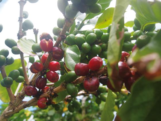 Reife-Kaffeekirschen-auf-Tonga