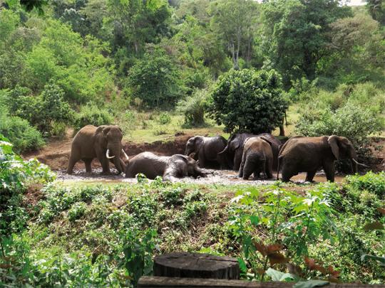 Badende-Elefanten-nahe-der-Kaffeefarm