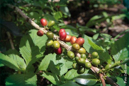 Kaffeekirschen-auf-Sumatra