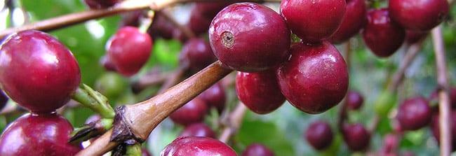 Typica-Kaffeekirschen