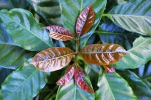 Die Blattspitzen des Bourbon-Kaffees können rötlich oder hellgrün sein.