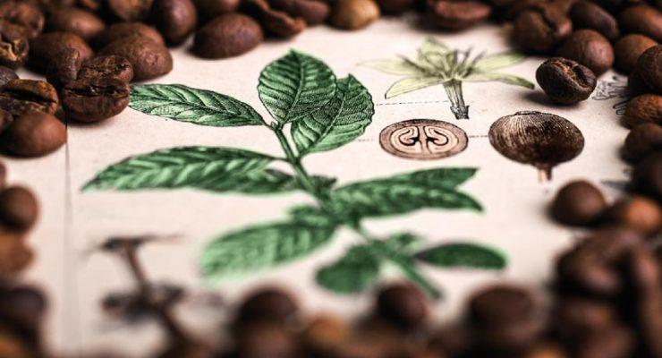 Kaffee- Botanik und -Varietäten