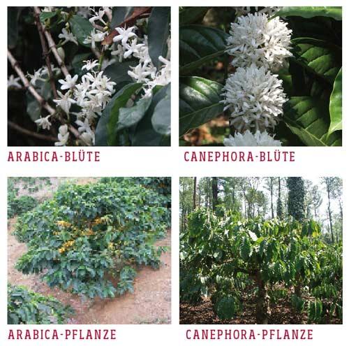 kaffee arabica canephora pflanzen