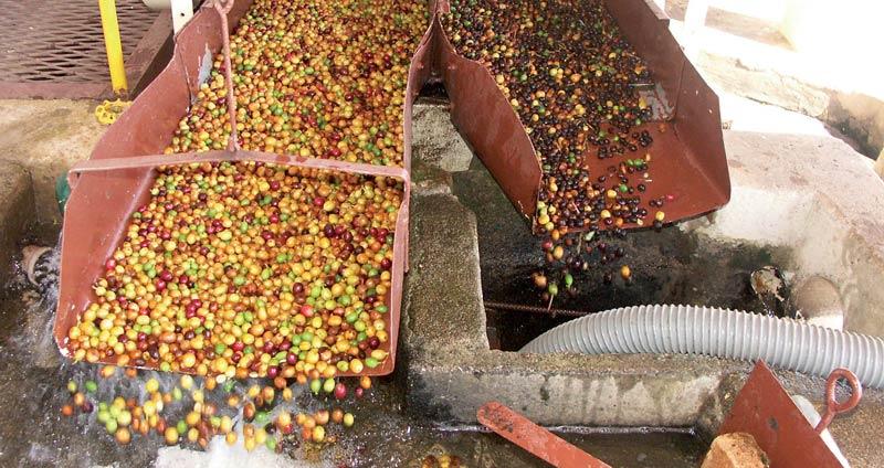 Kaffeekirschen werden in Sinker und Floater aufgeteilt