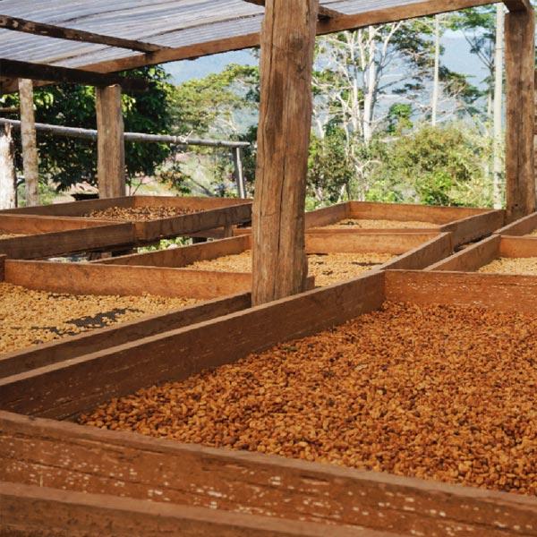 Kaffeebohnen trocknen auf einem Trockenbett